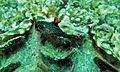 Sea Slug (Nembrotha kubaryana) (6135372883).jpg