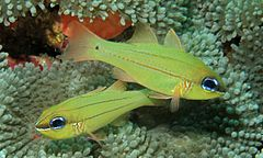 Seale's Cardinalfish (Apogon sealei) (6058930501).jpg