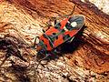 Seed Bug (16080053096).jpg
