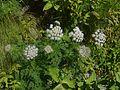 Selinum wallichianum (7815295978).jpg