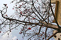 Semal (Bombax ceiba)- a view from below in Kolkata W IMG 4126.jpg