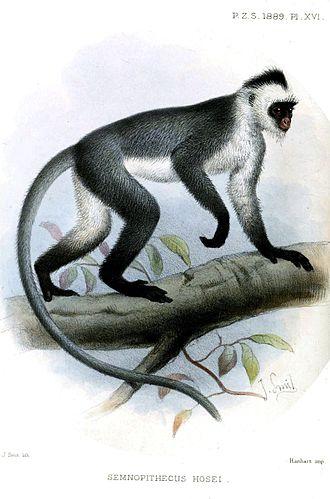 Hose's langur - Image: Semnopithecus Hosei Smit
