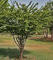 Senna polyphylla, Desert Senna at Secunderabad, AP W IMG 6657.jpg