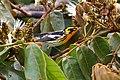 Setophaga fusca Monteverde 07.jpg