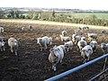 Sheep near Gundleton - geograph.org.uk - 109953.jpg