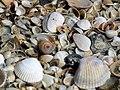 Shells clams on beachs sand.jpg