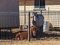 Shetland ponies Burke St Boulia Central Western Queensland P1080227.jpg