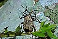 Shield Bug (Pentatomidae) (6807828535).jpg
