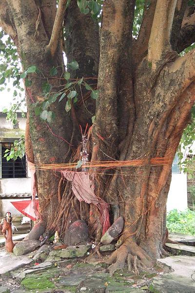 Siliguri-peepal-tree-4.JPG
