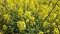 Sisymbrium officinale - jaramago amarillo.jpg