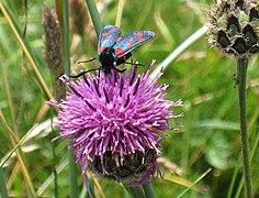 Six-spot burnet moth on knapweed - geograph.org.uk - 1386416.jpg