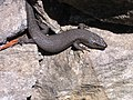 Skink at barren grounds on rock.jpg