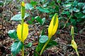 Skunk Cabbage (Clatsop County, Oregon scenic images) (clatDA0039a).jpg