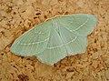 Small Emerald (48958087788).jpg