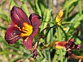 Small Flowered Red Daylily.jpg
