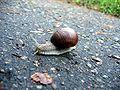 Snail in Druskininkai.jpg