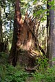 Snapped-off tree, Quinault Rainforest (3605164386).jpg
