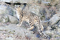 Snow Leopard on Rocks (13882913873).jpg