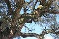 Sobreiro do Largo da Igreja - Parada de Todeia, Paredes - 13.jpg
