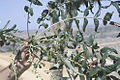 Socotra-Boswellia elongata.jpg