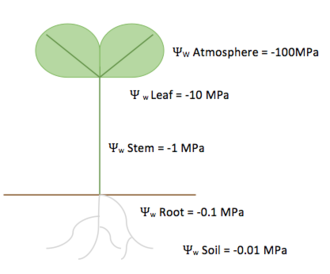 Soil plant atmosphere continuum - Arbitrary numbers picked to represent decreasing water potentials from the soil, through the plant, to the atmosphere. This shows the net movement of water down its potential energy gradient, from highest water potential in the soil to lowest water potential in the air.