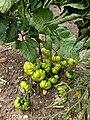 Solanales - Solanum lycopersicum - 44.jpg