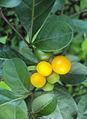 Solanum diphyllum5.jpg
