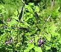 Solanum dulcamara Moshchun2.JPG