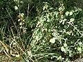 Solanum sp. - Reggio Calabria (Italy) - 8 Nov. 2016.jpg