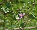 Solanum wendlandii (Costa Rica Nightshade) W IMG 6700.jpg