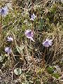 Soldanella alpina 01.JPG