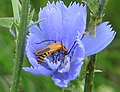 Soldier beetle on chickory (710857892).jpg