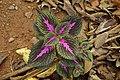 Solenostemon scutellarioides 3237.jpg