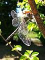 Somatochlora flavomaculata, Frombork.jpg