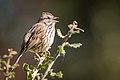 Song Sparrow (25512004267).jpg