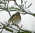 Song thrush (Turdus philomelos) - geograph.org.uk - 1147789.jpg
