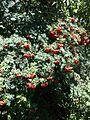 Sorbus aucuparia fruit 2.JPG