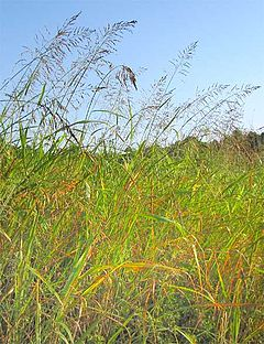 Sorghum halepense-thicket.jpg