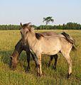 Sorraia yearlings at the Ravenseyrie Sorraia Mustang Preserve.jpg