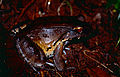 South American Bullfrog (Leptodactylus pentadactylus) (10425514663).jpg