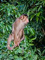 Southern Pig-tailed Macaque (14839891179).jpg