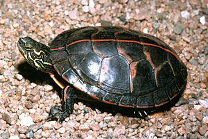Southern painted turtle carapace.jpg
