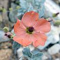 Sphaeralcea laxa – Caliche Globemallow - Flickr - gailhampshire.jpg