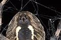 Spinnwarzen von Larinioides.jpg