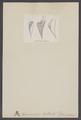 Spirulirostra - Print - Iconographia Zoologica - Special Collections University of Amsterdam - UBAINV0274 005 10 0006.tif