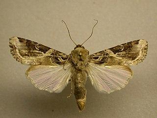 <i>Spodoptera androgea</i> species of moth