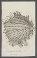 Spondylus spec. - - Print - Iconographia Zoologica - Special Collections University of Amsterdam - UBAINV0274 074 10 0026.tif