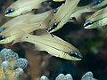Spotgill cardinalfish (Ostorhinchus chrysopomus) (33679592158).jpg