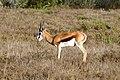 Springbok (Antidorcas marsupialis) male (33013051045).jpg