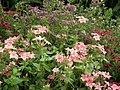 Star Phlox from Lalbagh flower show Aug 2013 8179.JPG